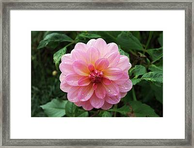 Dahlia 'dusky Harmony' Framed Print by Neil Joy