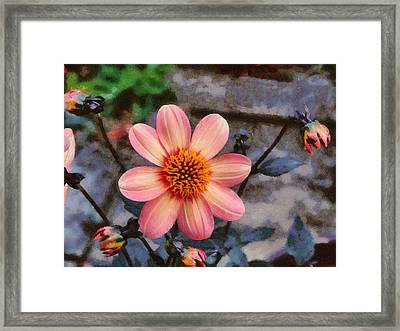 Dahlia First Love Framed Print by Paul Gulliver