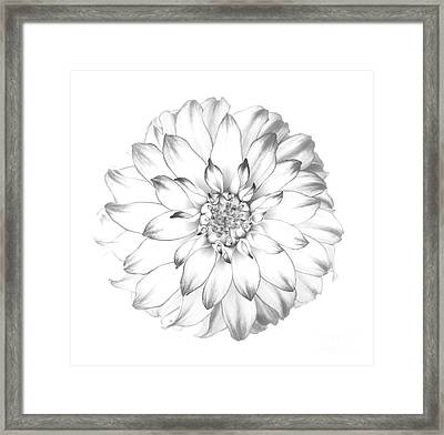 Dahlia Flower As Drawing In Black And White. Framed Print by Rosemary Calvert