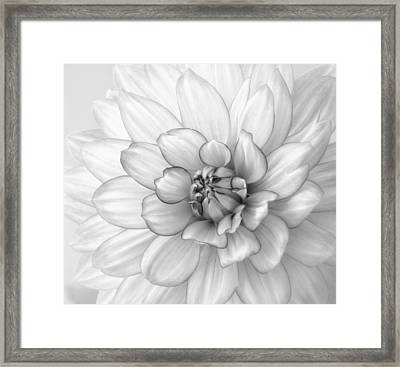 Dahlia Flower Black And White Framed Print