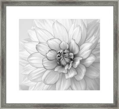 Dahlia Flower Black And White Framed Print by Kim Hojnacki