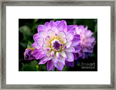 Framed Print featuring the photograph Dahlia Flower With Purple Tips by Scott Lyons
