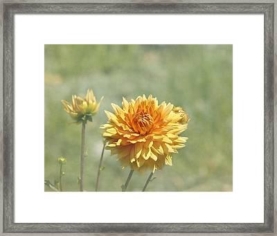 Dahlia Flowers Framed Print by Kim Hojnacki