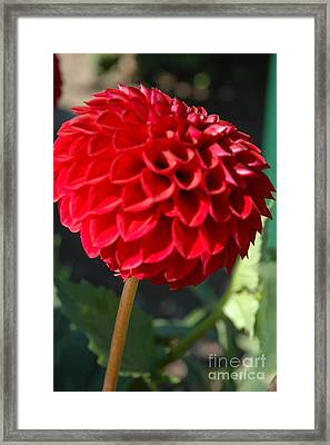 Framed Print featuring the photograph Dahlia IIi by Christiane Hellner-OBrien