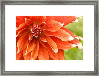 Dahlia IIi - Orange Framed Print by Natalie Kinnear