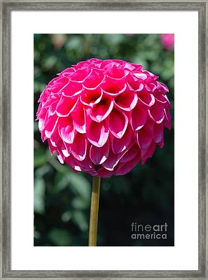 Framed Print featuring the photograph Dahlia IIII by Christiane Hellner-OBrien