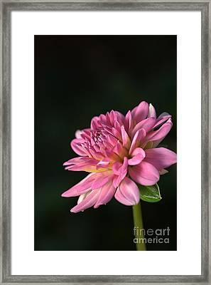 Dahlia In The Spotlight Framed Print by Joy Watson