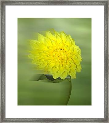 Dahlia In The Wind Framed Print by Nina Bradica