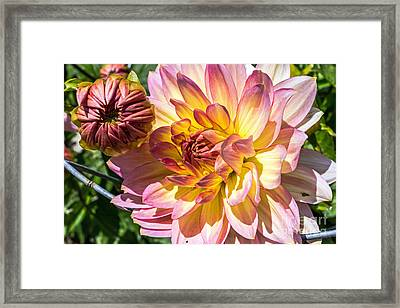 Framed Print featuring the photograph Dahlia by Kate Brown
