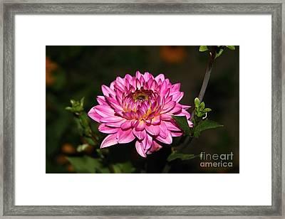 Dahlia Lucca Johanna Framed Print