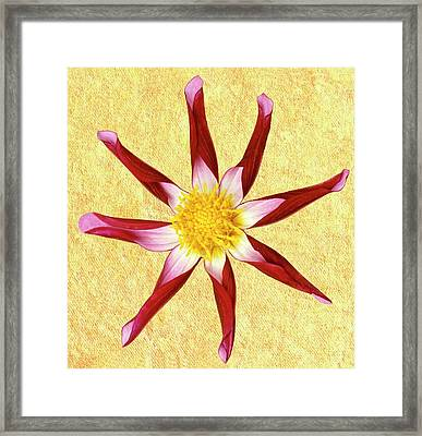 Dahlia 'midnight Star' Framed Print by Archie Young