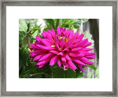 Framed Print featuring the photograph Dahlia Named Andreas Dahl by J McCombie