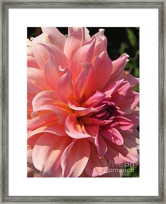Framed Print featuring the photograph Dahlia Named Fire Magic by J McCombie