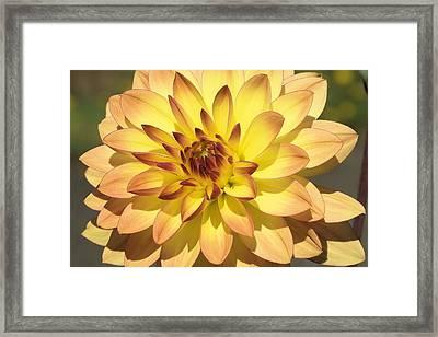 Dahlia Number Five Framed Print