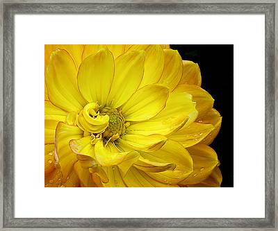 Dahlia Pedals Framed Print by Gary Neiss