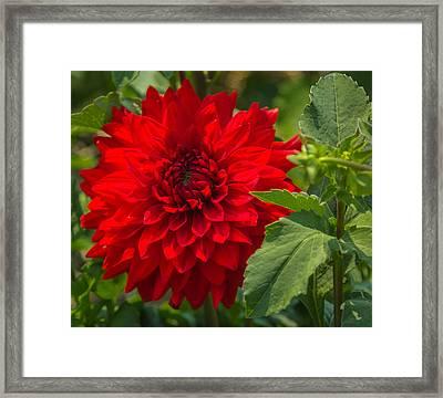 Dahlia Perfection Framed Print