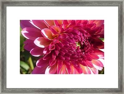 Framed Print featuring the photograph Dahlia Pink 1 by Susan Garren