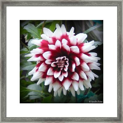 Framed Print featuring the photograph Dahlia by Sandra Estes