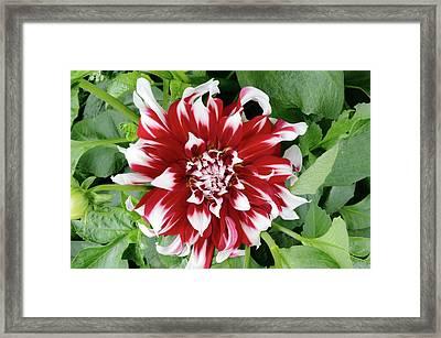 Dahlia 'special X Factor' Flower Framed Print