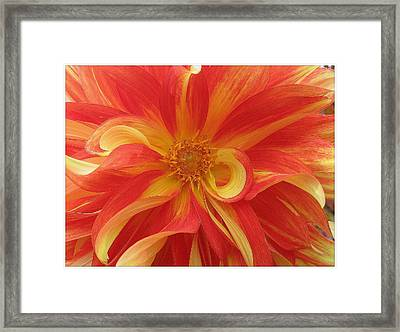 Dahlia Unfurling In Yellow And Red Framed Print by Dora Sofia Caputo Photographic Art and Design