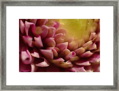 Dahlia Up Close Framed Print