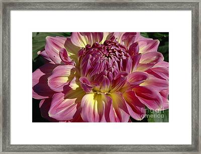Framed Print featuring the photograph Dahlia Vii by Christiane Hellner-OBrien