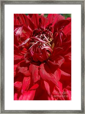 Framed Print featuring the photograph Dahlia Viiii by Christiane Hellner-OBrien