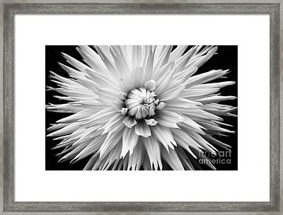 Dahlia White Lace Framed Print by Tim Gainey