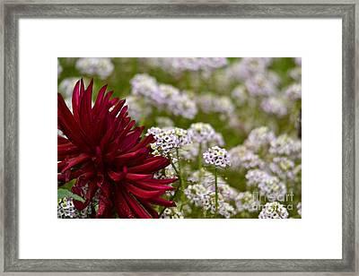 Dahlia With Alyssum Framed Print by Marsha Schorer