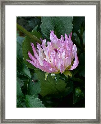 Dahlia With Spider Framed Print