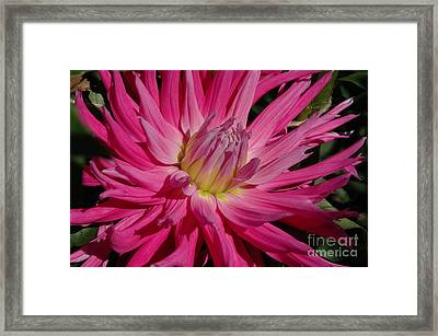 Framed Print featuring the photograph Dahlia X by Christiane Hellner-OBrien