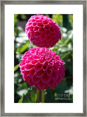 Framed Print featuring the photograph Dahlia Xi by Christiane Hellner-OBrien