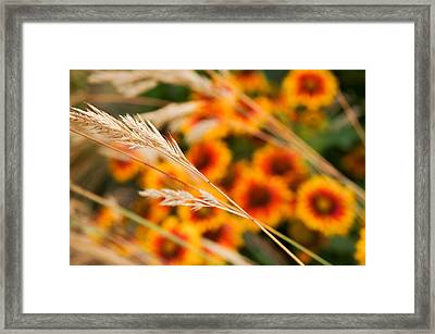 Dahlias In The Distance Framed Print by Ronda Broatch