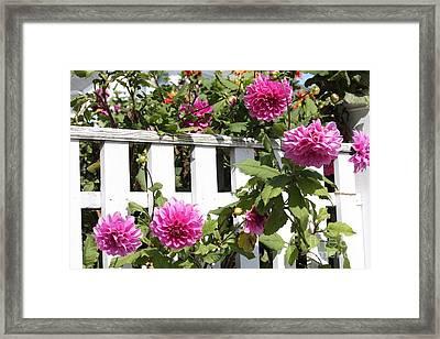 Dahlias Over The Fence Framed Print by Carol Groenen