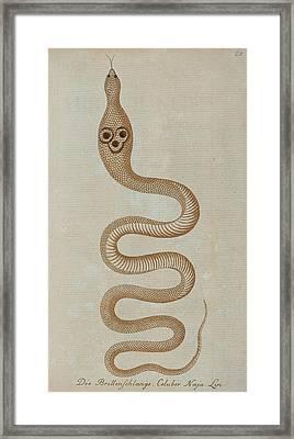 Dahl's Whip Snake Framed Print