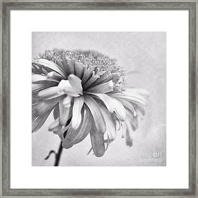 Dainty Daisy Framed Print