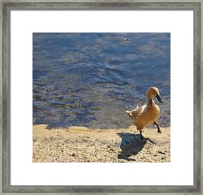 Dainty Duck Framed Print