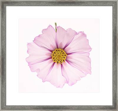 Dainty Pink Cosmos On White Background. Framed Print by Rosemary Calvert