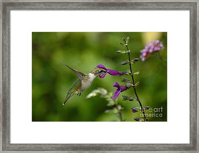 Dainty Sipper Framed Print by Tim Good