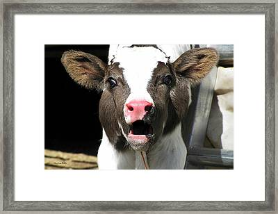 Dairy Cow Framed Print by Christina Rollo