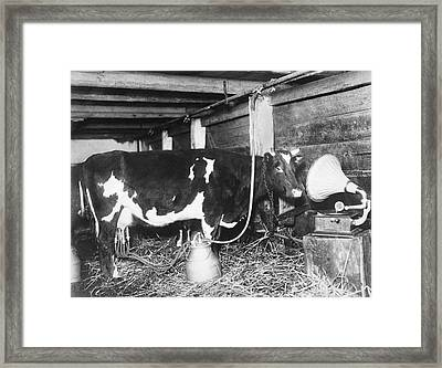 Dairy Cow Listening To Music Framed Print by Underwood Archives