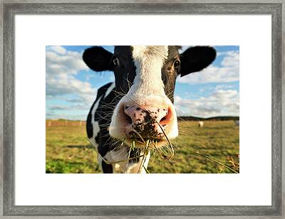 Dairy Cow Framed Print by Tony C French