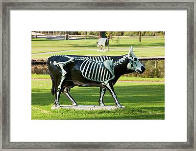 Dairy Cows Framed Print by Ashley Cooper