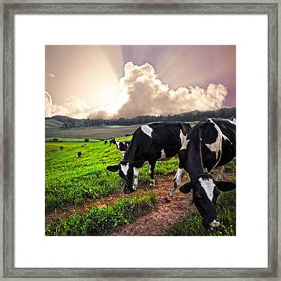 Dairy Cows At Sunset Framed Print by Debra and Dave Vanderlaan