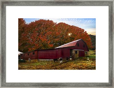 Dairy Cows Framed Print by Debra and Dave Vanderlaan