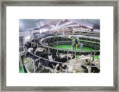 Dairy Cows In Barn Framed Print