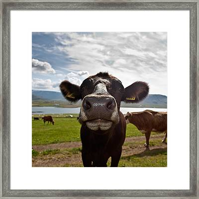 Dairy Cows, Western Iceland Framed Print