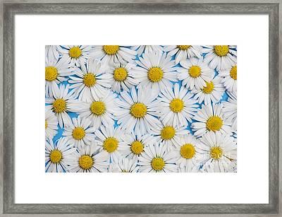 Daises Framed Print