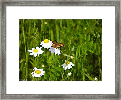 Daisey And Butterfly Framed Print by Nick Kirby