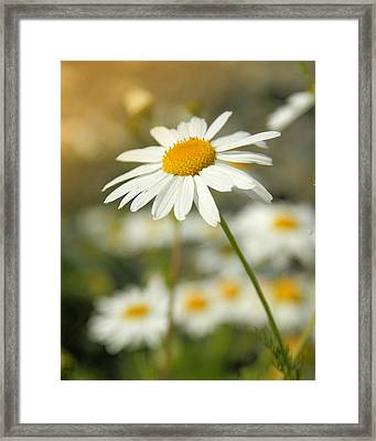 Daisies ... Again - Original Framed Print